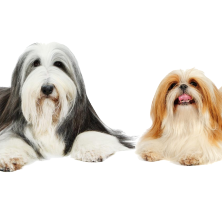 Shirley is a Bearded Collie from Durham; Jane is a Shih Tzu from Shenzhen, China.