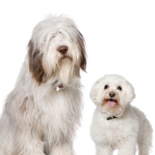 Malcolm is an Old English Sheepdog from Hexham; Brigitte is a Bichon Frise from Toulouse, France.
