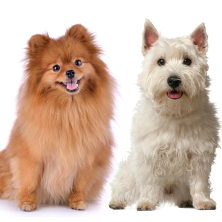 Morag is a West Highland Terrier from Ardnamurchan, and Paweł is a Pomeranian from Gdańsk in Pomerania, Poland