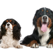 Rachel is a Cavalier King Charles Spaniel from Southampton; Dietrich is a Bernese Mountain Dog from Bern, Switzerland.